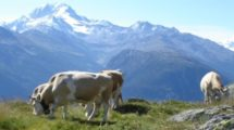 Kuh auf Alp im Wallis